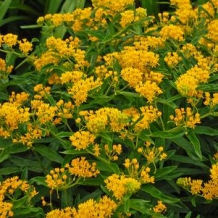 American Beauties™ Asclepias 'Hello Yellow'