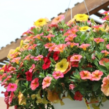 Colorful Proven Winners Hanging Basket