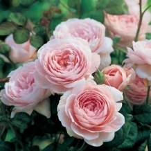 David Austin® Rose 'Queen of Sweden'