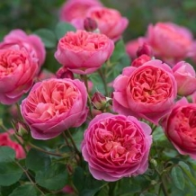 David Austin™ Roses - To learn more: