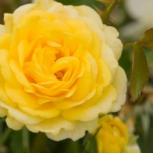 Easy Elegance® Rose 'High Voltage'