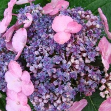 Endless Summer® Hydrangea 'Twist-n-Shout'