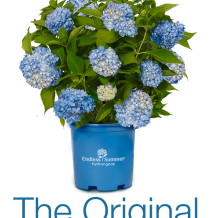 Endless Summer™ Hydrangea - To learn more: