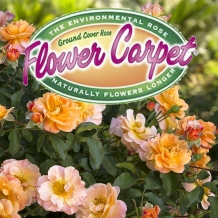 Flower Carpet™ Roses - To learn more: