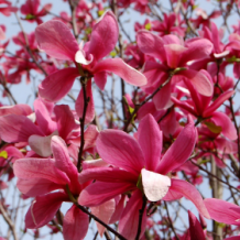 Bower & Branch™ Magnolia 'Galaxy'