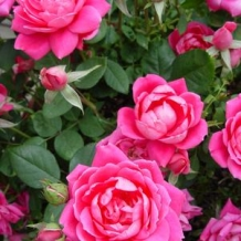 Knock Out® Rose 'Double Pink'