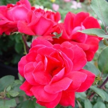 Knockout™ Roses -  To learn more: