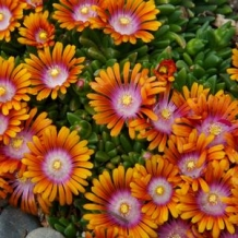 Plants That Work® Delosperma 'Fire Spinner'