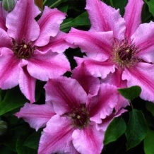 Raymond Evison™ Clematis - To learn more: